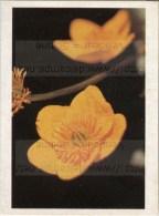 Image Photo De Fleur : Le Bouton D´or - Chromos