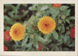 Image Photo De Fleur : Le Souci - Chromos