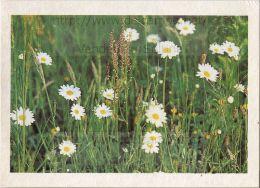 Image Photo De Fleur : La Marguerite - Chromos