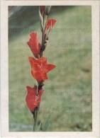 Image Photo De Fleur : Le Glaieul - Chromos