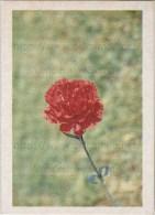 Image Photo De Fleur : L´œillet - Chromos