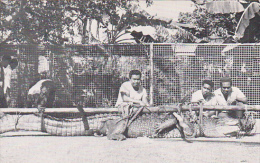 Caroline Islands Marine Crocodile 14 1/2 Feet Long Caaptured In Ngaremiengui Palau - Palau