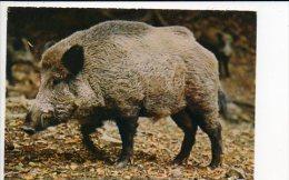Animal  De Ferme / Cochon,truie,sanglier - Cochons