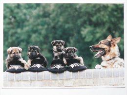 Dog  Chien  Hund  /German Shepherd Dog - Chiens