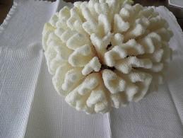 Koralion Blanc Surnommé Cerveau De Par Sa Forme. - Seashells & Snail-shells