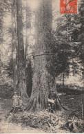 Champagnole  (39)  Forêt De La Jouxe - L´arbre A 300 Ans, 50 M. De Hauteur - Champagnole