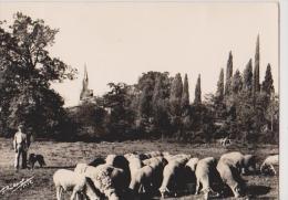 TRIE -SUR-BAISE-Un Berger Et Ses Moutons Sur Les Paturages De La Baise - France
