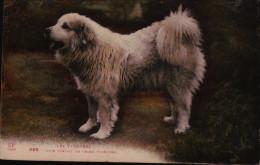 Chien - Type Parfait Du Chien Pyreneen  - - Honden