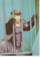 (ANIM130) BRAZZA MONKEY. - Monos