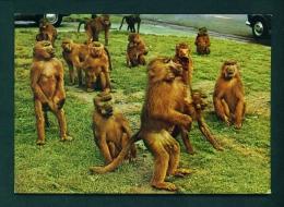 BABOONS  -  At The Royal Windsor Safari Park  Unused Postcard As Scan - Monkeys