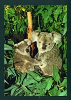 USA  -  Koala Bears In San Diego Zoo  Used Postcard As Scans - Ours