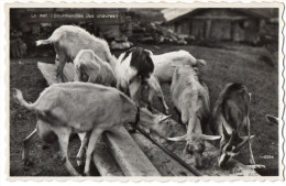 Chèvres---Le Sel--Gourmandise Des Chèvres ,cpsm 14 X 9  N° 10294 éd Perrochet à Lausanne - Sonstige