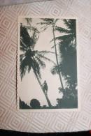 BB - CAROLINES - A La Cueillette Des Noix De Coco. Cette Race Est D´une Souplesse Et D´une Agilité Surprenante - Cartes Postales