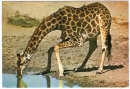 GIRAFFE DRINKING / WITH RHODESIA STAMPS - Zimbabwe