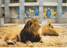 CPM LIONS DE L ATLAS ZOO LA PALMYRE PHOTO PETIT - Lions
