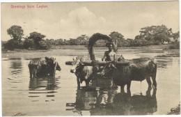 Greetings From Ceylon Black & White Postcard - Bullocks Pulling Cart 1933 - Sri Lanka (Ceylon)