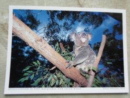 Australia -KOALA  - Koala Station In Port Macquaire  NSW  German Postcard  Photo  Holger Leue     D120893 - Non Classés