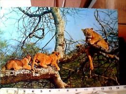 LEONE  LION LIONS LEONI E CUCCIOLI    N1975 EN9756 - Lions