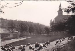 24153 Notre Dame Des Neiges Ardeche Par Bastide -au Paturage -2003Jean-Bernard - Mouton - Elevage