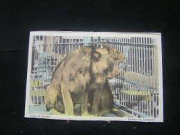Eb-n°109 / Lion - Lionnd Dans Le Zoo .- - Lions
