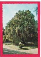 Weeping Cyprus,Giardini Dell`Isola Madre, Italy, U25. - Italy