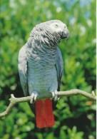"""Parc Des Oiseaux -  Villars-les-Dombes ( Ain)     -   Perroquet Gris Du Gabon Dit """"Jaco"""" - Photo Christian Krass - Pájaros"""
