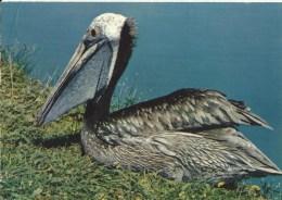 Parc Ornithologique Départemental De La Dombes   -  Villars-les-Dombes (Ain)  - Jeune Pélican - Pájaros