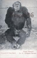 Congo Français - Chimpansé Masculin - Photographie R. Visser - Excellent état - 2 SCANS - Congo Français - Autres