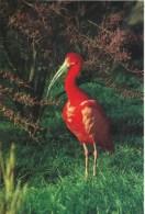 Parc Ornithologique Départemnetal De La Dombes - Villars-les-Dombes (Ain)  -  Ibis Rouge  - Cliché C. Krass - Pájaros