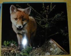 Grande Carte Postale  JEUNE RENARD RENARDEAU  128 - Animals