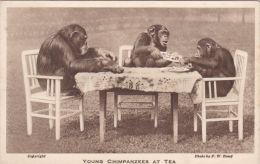 ZOO POSTCARD. YOUNG CHIMPANZEES AT TEA - Monkeys