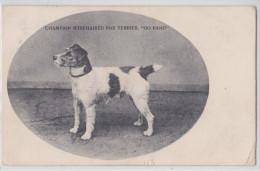 """NEWBURY (?) - CHAMPION WIREHAIRED FOX TERRIER """"GO BANG"""" - RPPC 1904 - UNIVERSAL SERIES 209 N°1 - Angleterre"""