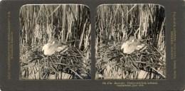 Naardermeer, Kleine Europese Fuut, Hauhensteissfuss - Stereoscoopen
