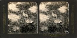 Texel, Buiszwaluw, Steglitz 25a - Stereoscoopen