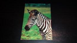 C-20236 CARTOLINA ANIMALI - ZEBRA DI GRANT AFRICANA - Zebra's