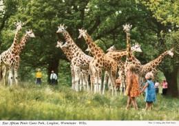 Postcard - Giraffes At Longleat East African Game Park. 2EAT7 - Giraffes