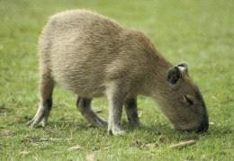 Postcard - Capybara At Twycross Zoo. A - Animals