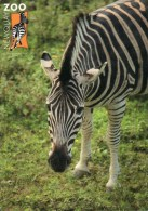 Postcard - Zebra At Newquay Zoo. C-41311X - Zebras