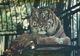 Postcard -Tiger At Bristol Zoo. Q2P - Tigers