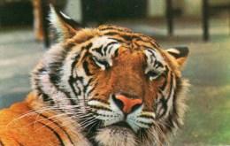 Postcard - Tiger At London Zoo. PT7804 - Tigers