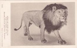 WILD ANIMAL POSTCARD -  AFRICAN LION - Lions
