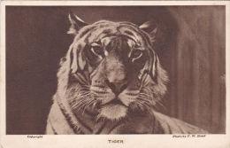 ZOO CARD - TIGER. - Tigers