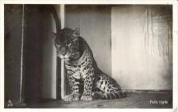 Photo  -  A Young Leopard  (Felis Tigris) - Tigers