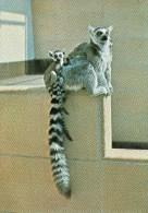 Postcard - Ring-tailed Lemurs At Bristol Zoo. Q2CQ - Monkeys