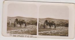 Caucase.Camel Near Dushet.Stereo Photo - Russie