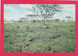 Tea Picking,Mulanje, Lake Malawi, African Great Lake, Mozambique, B4. - Mozambique