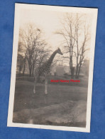 Photo Ancienne - Zoo à Identifier - Belle Girafe - Années 1930 - Animaux Animal - Places