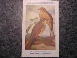 BRUANT ORTOLAN Musée Royal D´ Histoire Naturelle De Belgique Oiseau Bird Oiseaux Illustration DUPOND H Carte Postale - Vogels