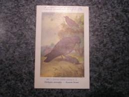 CORBEAU CORNEILLE  Musée Royal D´ Histoire Naturelle De Belgique Oiseau Bird Oiseaux Illustration DUPOND H Carte Postale - Birds