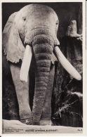 Record African Elephant , Photo  Musée Birchington , Kent ( Dos Scanné ) - Elefanten